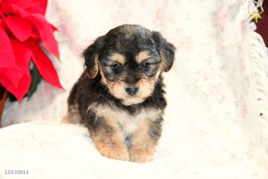 York Chon Puppy For Sale In Pennsylvania Puppies For Sale