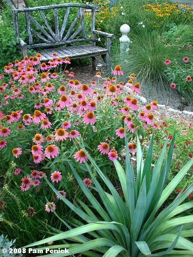 Good full sun parring of soft leaf yucca and coneflowers ... Coneflowers In Garden Design on sedums in garden design, peonies in garden design, daylilies in garden design, sunflowers in garden design,