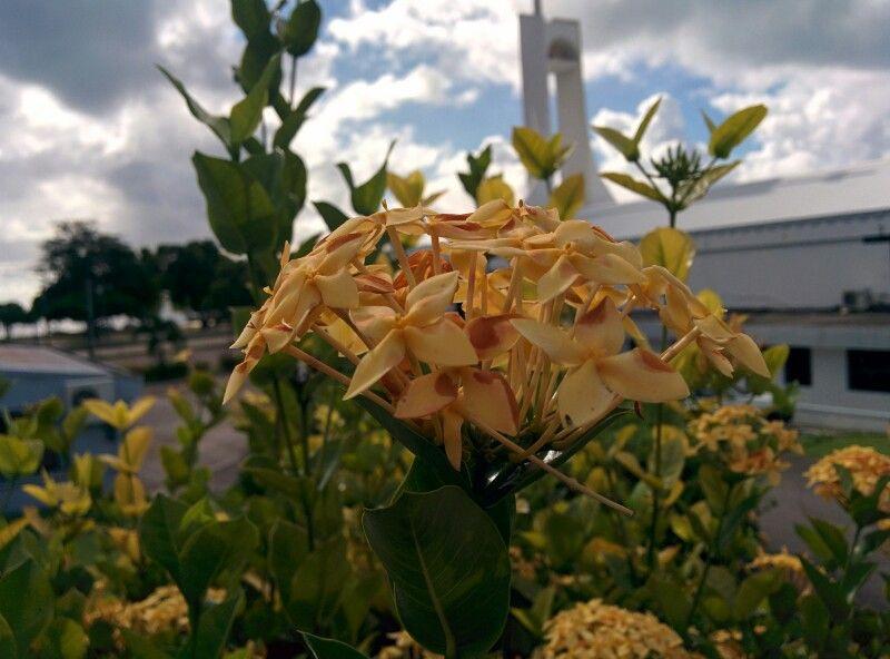 Some pretty flowers from my little island saipan cnmi nature flower some pretty mightylinksfo