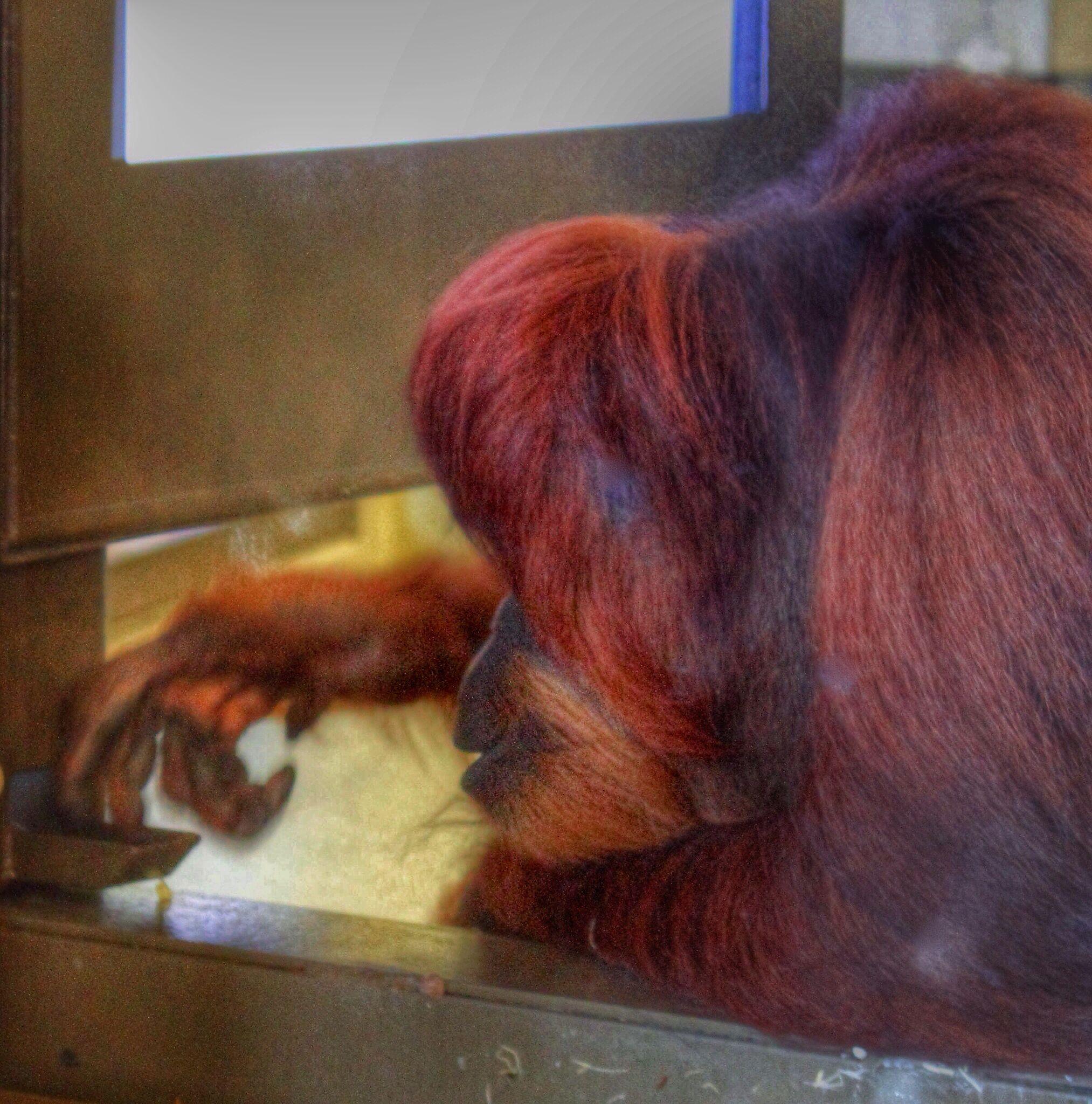 Orangutan Exhibit Indianapolis Zoo Indianapolis Zoo Orangutan Indianapolis