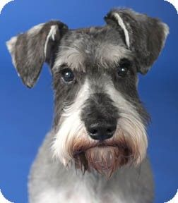 Kris Kringle Adopted Dog Chicago Il Schnauzer Miniature Dogs Schnauzer Pets