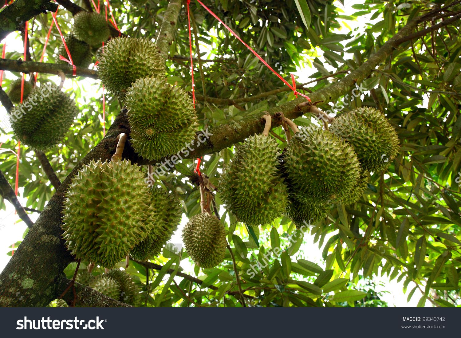 How to pick and eat durian fruit the washington post - Stage 3 Lots Of Ripe Durians Growing On The Tree