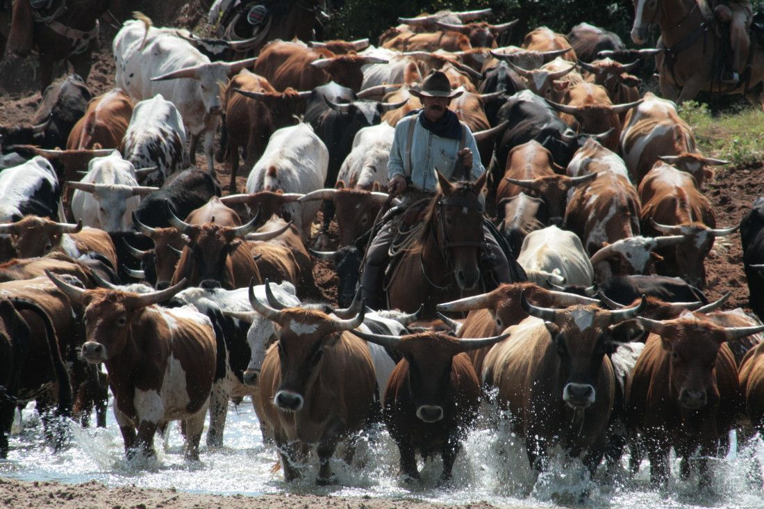 2007 Hundreds of cowboys, known as drovers, recreated the 1800s cattle drive  along the Chisholm Trail *U.S. 81, in Oklahoma … | Chisholm trail, Cattle  drive, Cattle