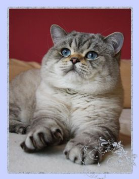 Maciatka Cute Cats And Kittens Kittens And Puppies British Shorthair