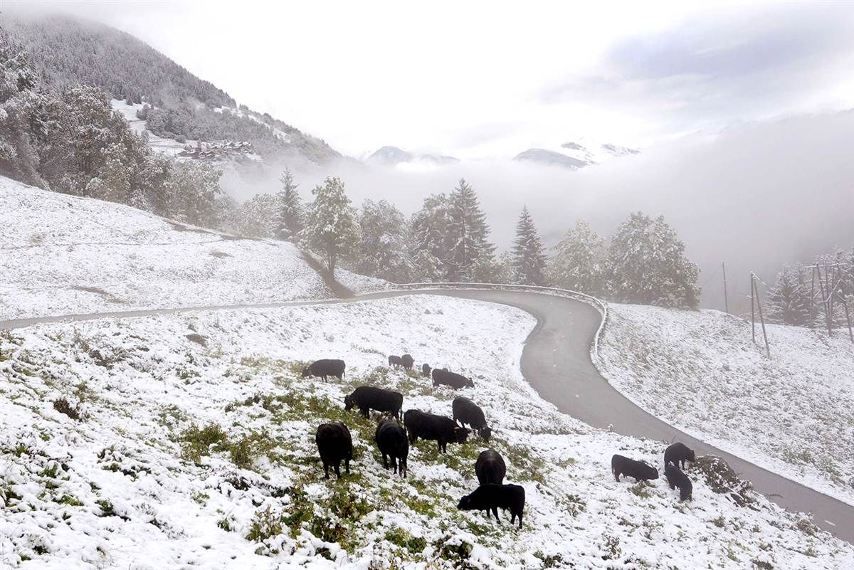 Cattle graze in Celliers after a heavy snowfall on Oct. 11