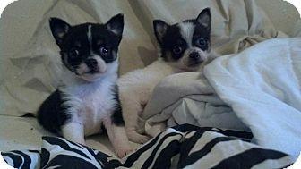 Dallas Tx Chihuahua Pug Mix Meet Honey Badger A Puppy For