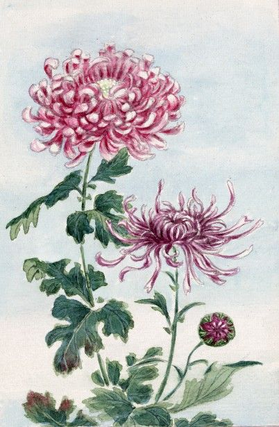 Chrysantheum Paintinngs Chrysanthemum Flowers Japanese Art By Karen Arnold Flower Art Japanese Art Chrysanthemum Painting