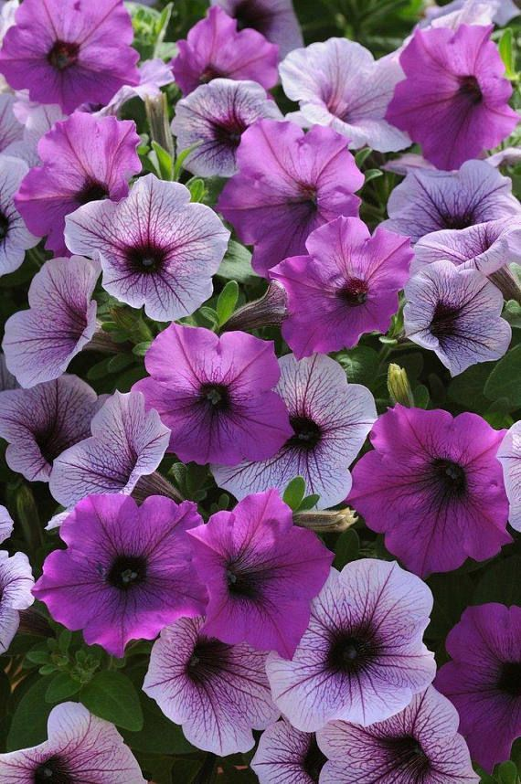 100 Bulk Petunia Seeds Easy Wave Plum Pudding pelleted seedsbulk