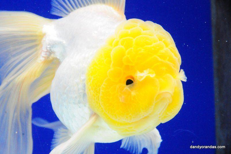 White Oranda Dandyorandas Com Oranda Goldfish Goldfish Pet Fish