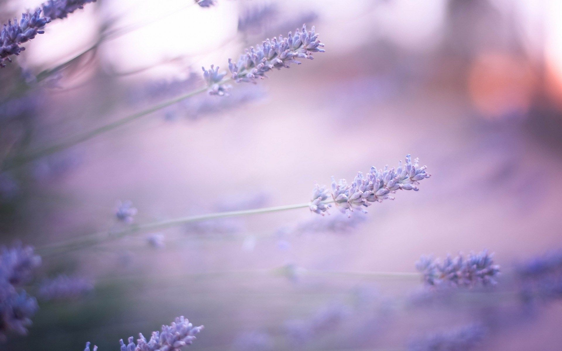 Lavender Farm Hd Wallpapers Page 0 Flower Wallpaper Lavender Flowers Flower Backgrounds