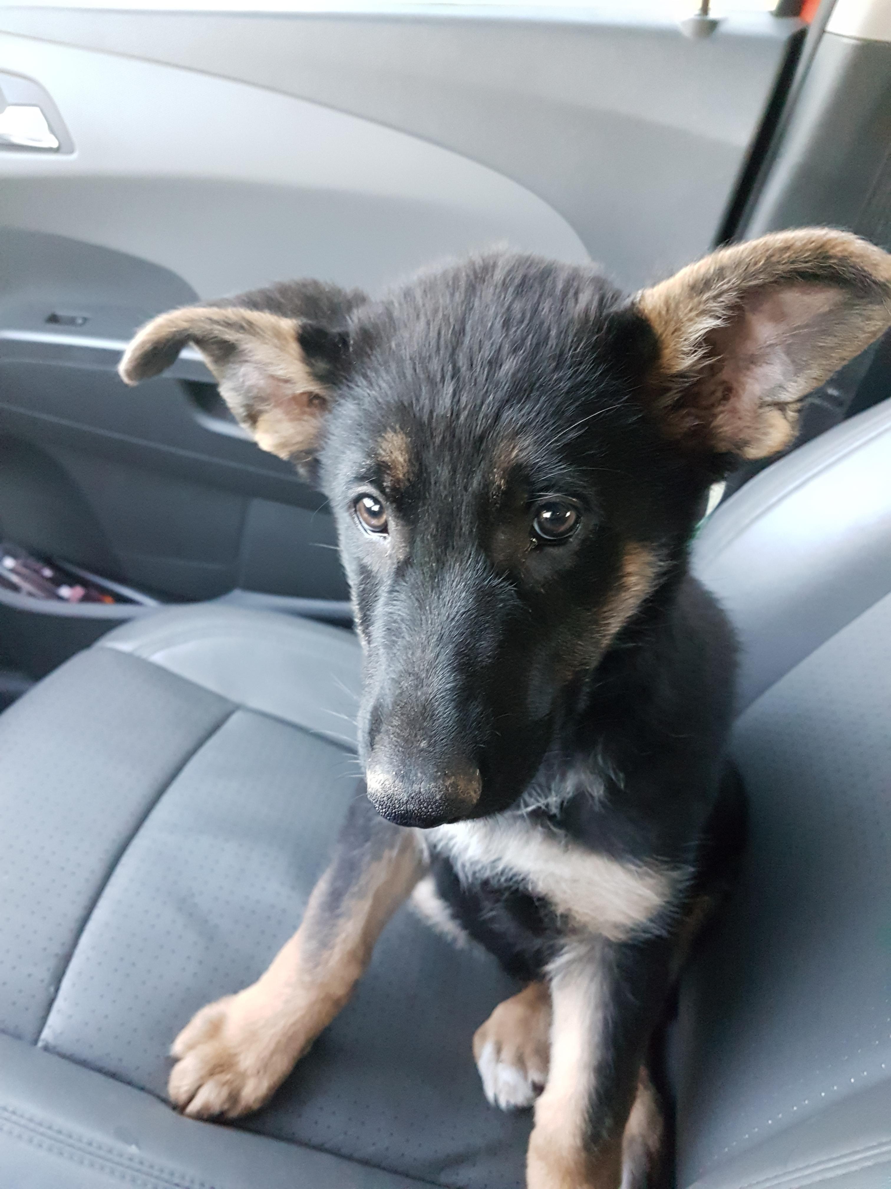 Brought Home This Terrifying German Shepherd Yesterday Reddit Say