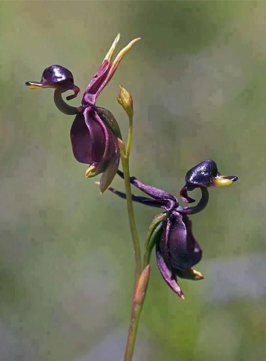 Amazing Flying Duck Orchid —  AMAZING....