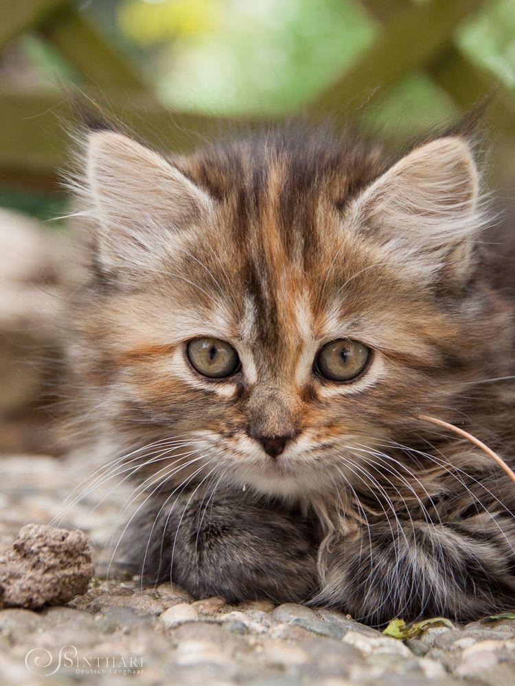 Deutsch Langhaar Von Sinthari Katzen
