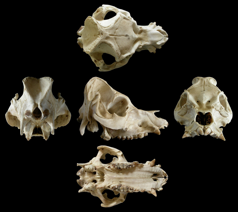 Pig Skull | Animal bones | Pinterest | Animal anatomy, Drawing ...