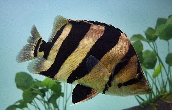 Siamese Tigerfish Stock Photography - Image: 32464922