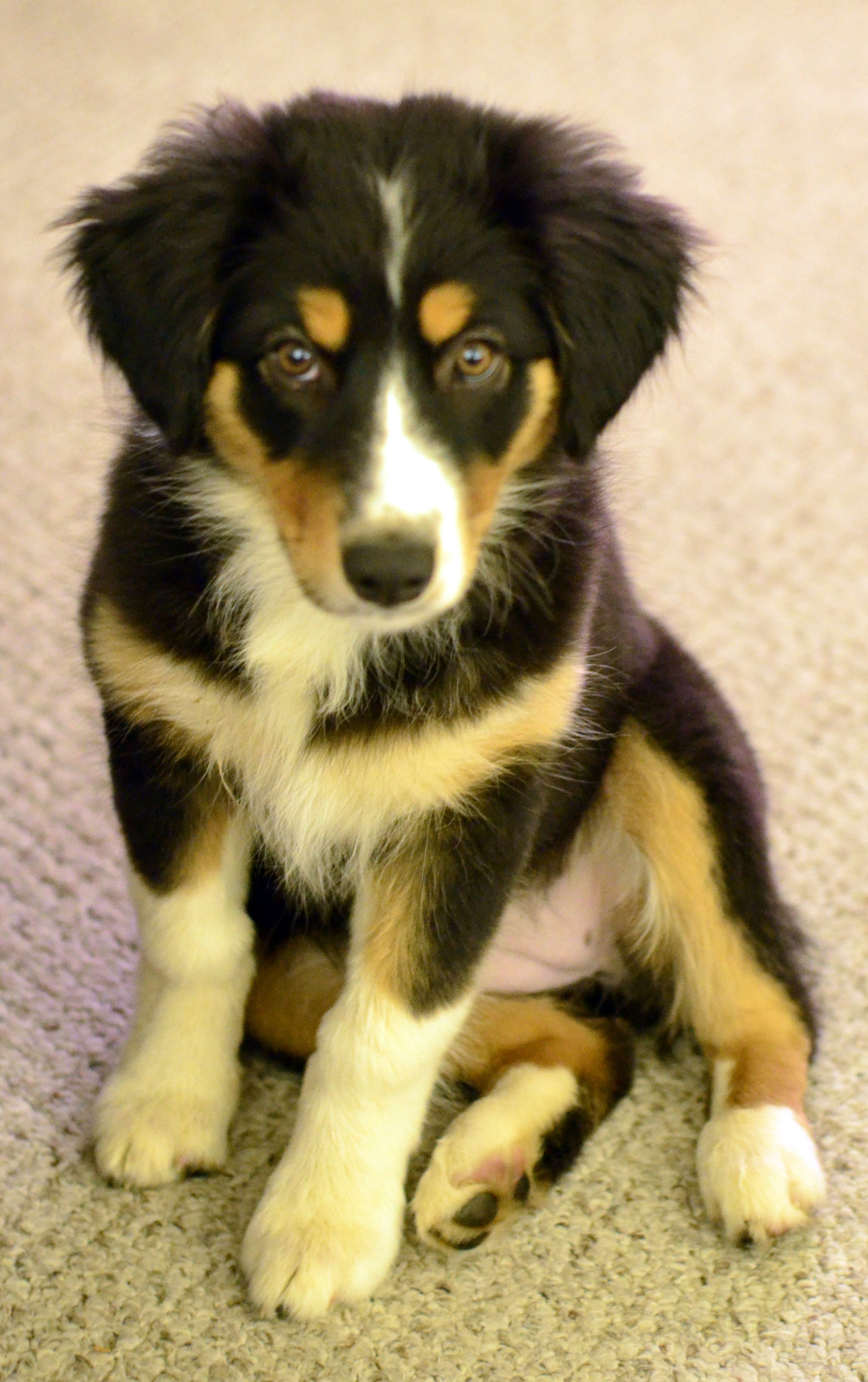 Angry Aussie Dogs Aussie Puppies Cute Dogs
