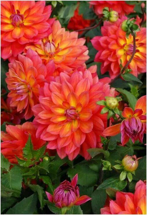 Pin By Erin Chaney On Flowers Dahlia Flower Flower Garden Beautiful Flowers