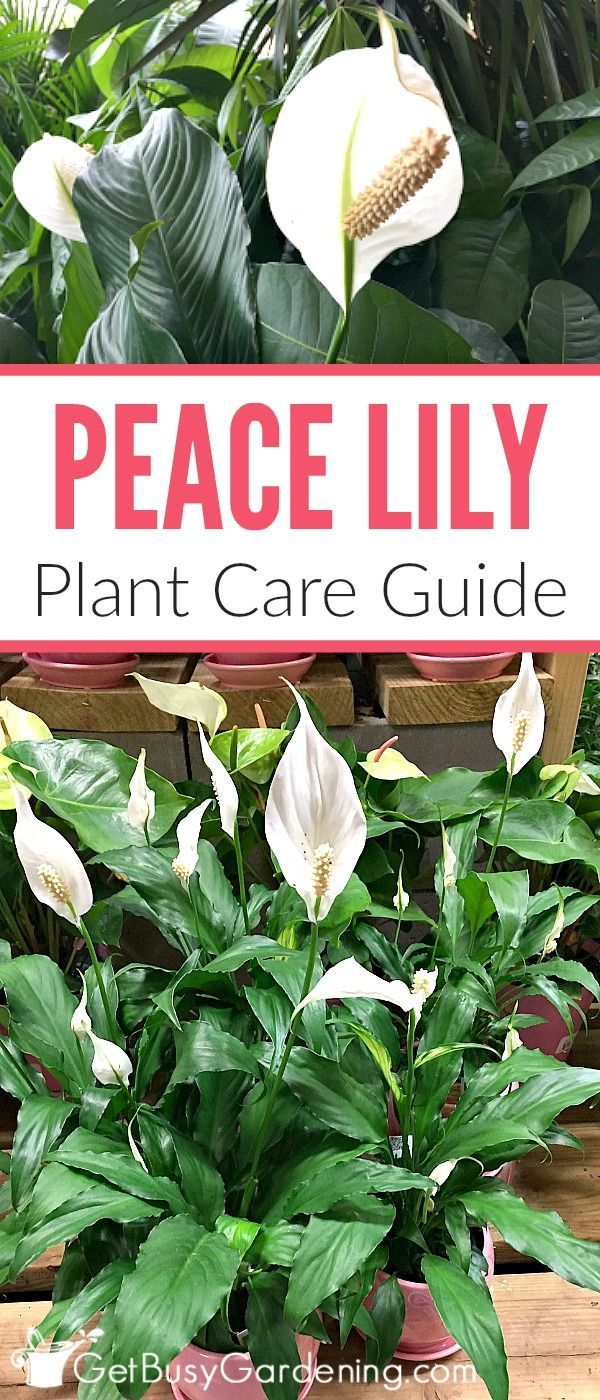 Peace lily plant care guide how to grow a peace lily peace lily peace lilies are easy to grow houseplants that thrive indoors follow these simple peace lily izmirmasajfo