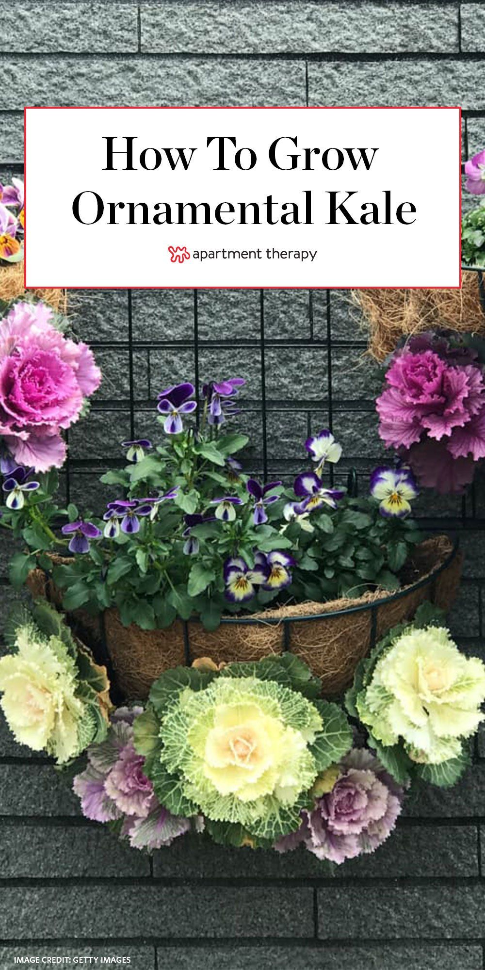How To Grow And Care For Ornamental Kale And Cabbage Ornamental Kale Ornamental Cabbage Flowering Kale