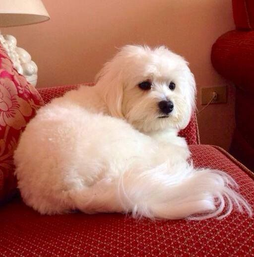 Maltipoo With Images Maltese Dogs Cute Little Dogs Designer Dogs Breeds