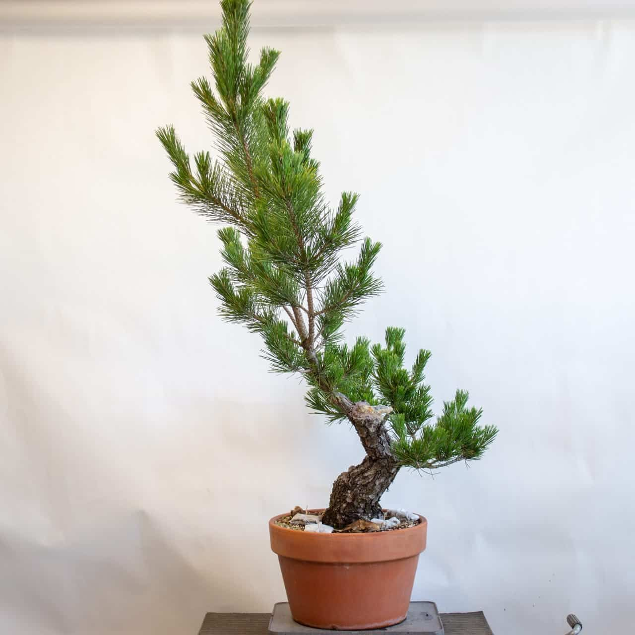 Pin On Bonsai Techniques