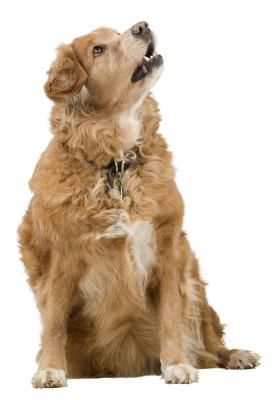 Lipomas In A Golden Retriever Goldens And Friends Smelly Dog