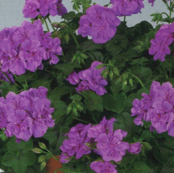 how to grow ivy geraniums from cuttings