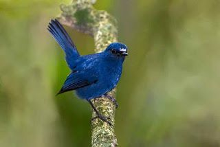 Burung Tledekan In 2020 Birds Flycatcher Blue Bird