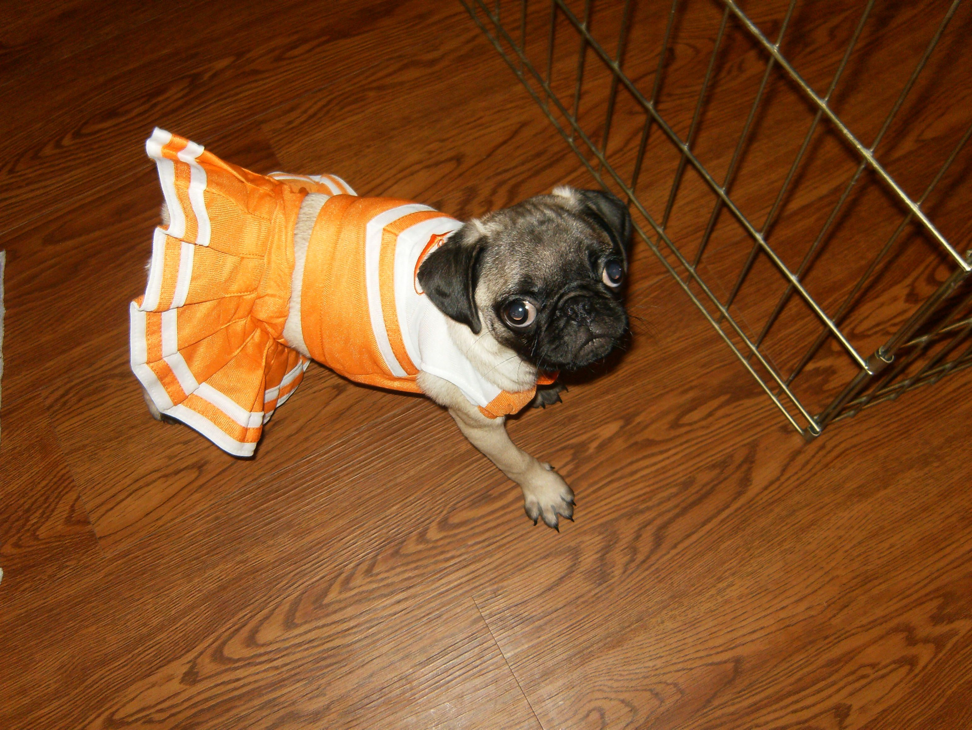 My Little Pug Lily 4 Years Ago Supporting The Tigers In Her
