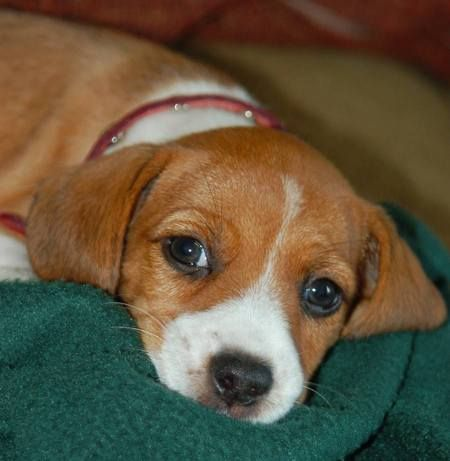 Beagle Jack Russell Mix/This is what my little girl dog ...