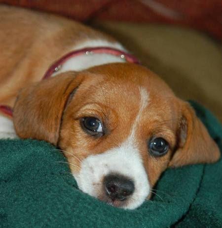 полноценных фото собак бигль и джек рассел получила