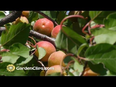 Apricot Prunus Armeniacum How To Grow Apricots How To Prune Apricot Tree Youtube Apricot Fruit Prune Apricot Tree