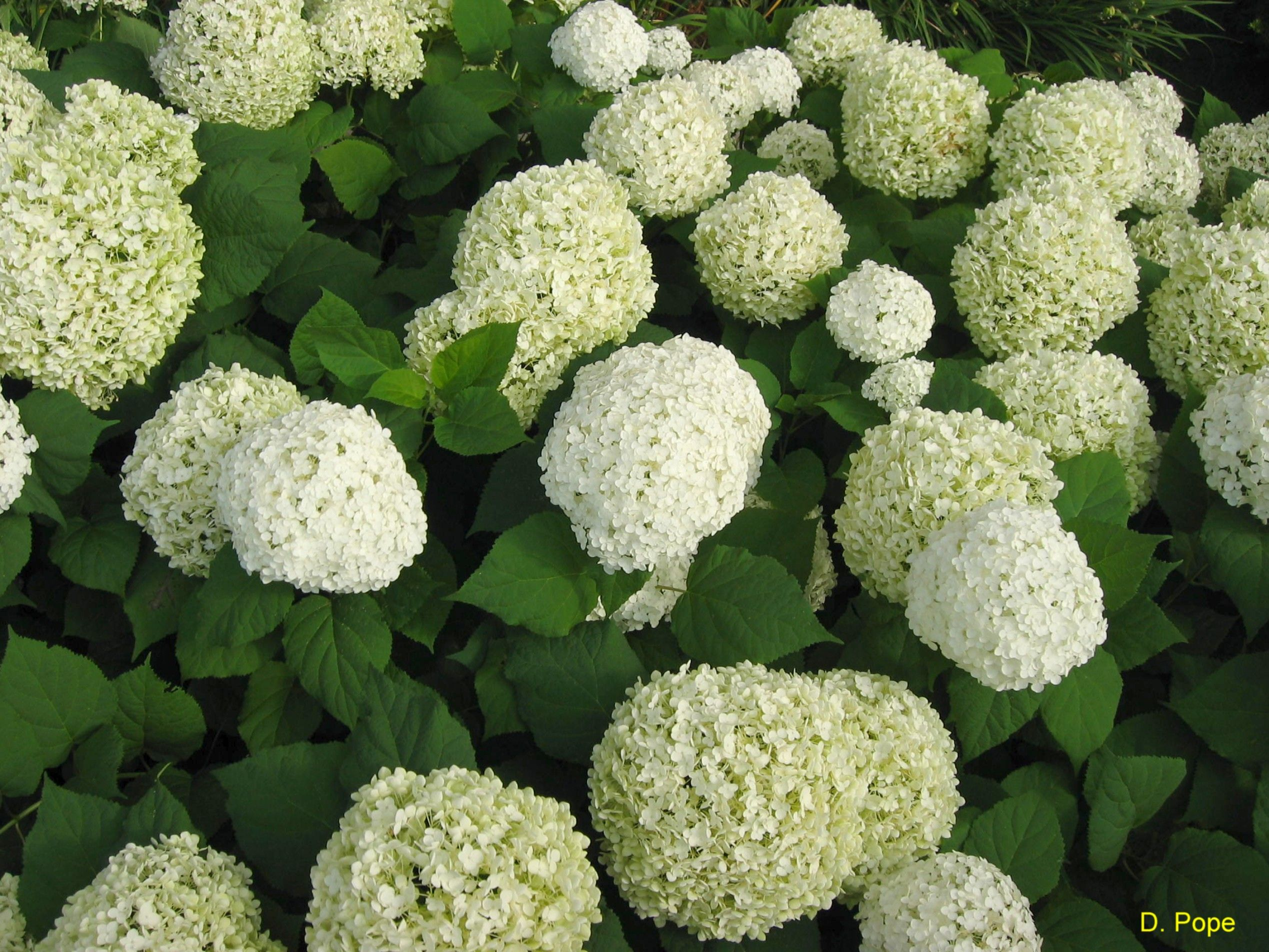 Best Hydrangea For Shade 28 Images Livin In The