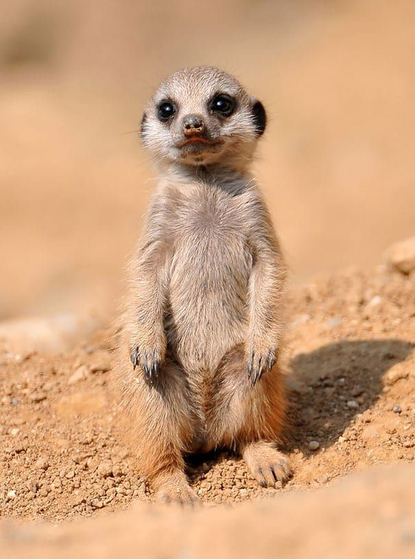 55 Baby Animals That Shouldn't Be Allowed To Be This Cute is part of Cute animals, Baby meerkat, Baby animals funny, Animals beautiful, Cute baby animals, List of animals - Follow this slideshow for pictures of cute baby animals that will make your day!
