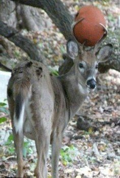 Buck With Basket Ball Stuck In Antlers Deer Whitetail