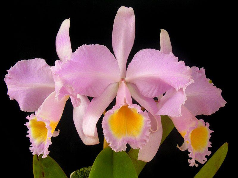 Cattleya Schroederae Concolor 253 Flores Orquideas Plantas Jardin