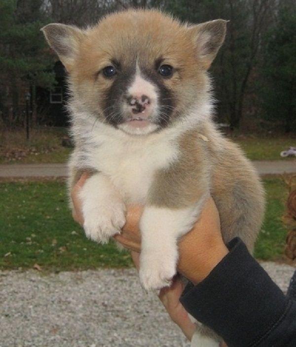 Corgi Puppy For Sale Uk Zoe Fans Blog Corgi Puppies For Sale Corgi Pembroke Corgi