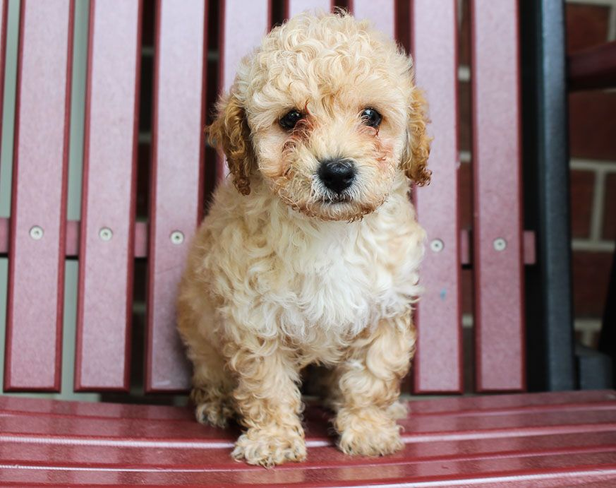 Rocky Male Toy Poodle Pup For Sale In New Haven Indiana In 2020 Puppies For Sale Spaniel Puppies For Sale Puppies