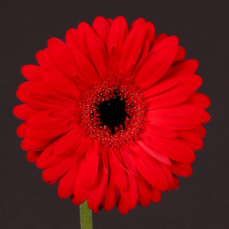 Gerbera Kaiser Flores