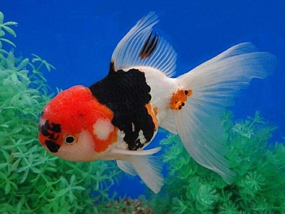 Goldfish Tricolor Oranda Price 50 30 Gbp Worldwide Shipping Https Diapteron Co Uk Product Goldfish Tricolor Oranda A In 2020 Pet Fish Goldfish Goldfish Types