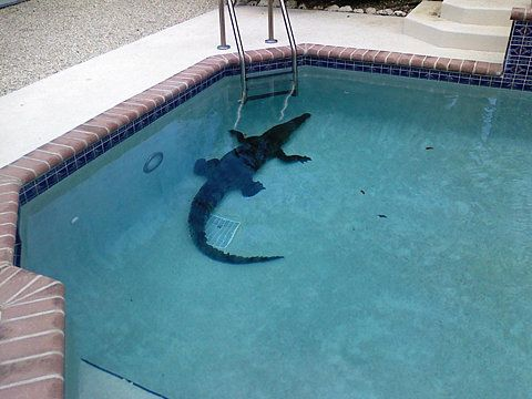 not gonna lie.... this really freaks me the hell out.  Will never jump in a pool with out looking for gators first again.