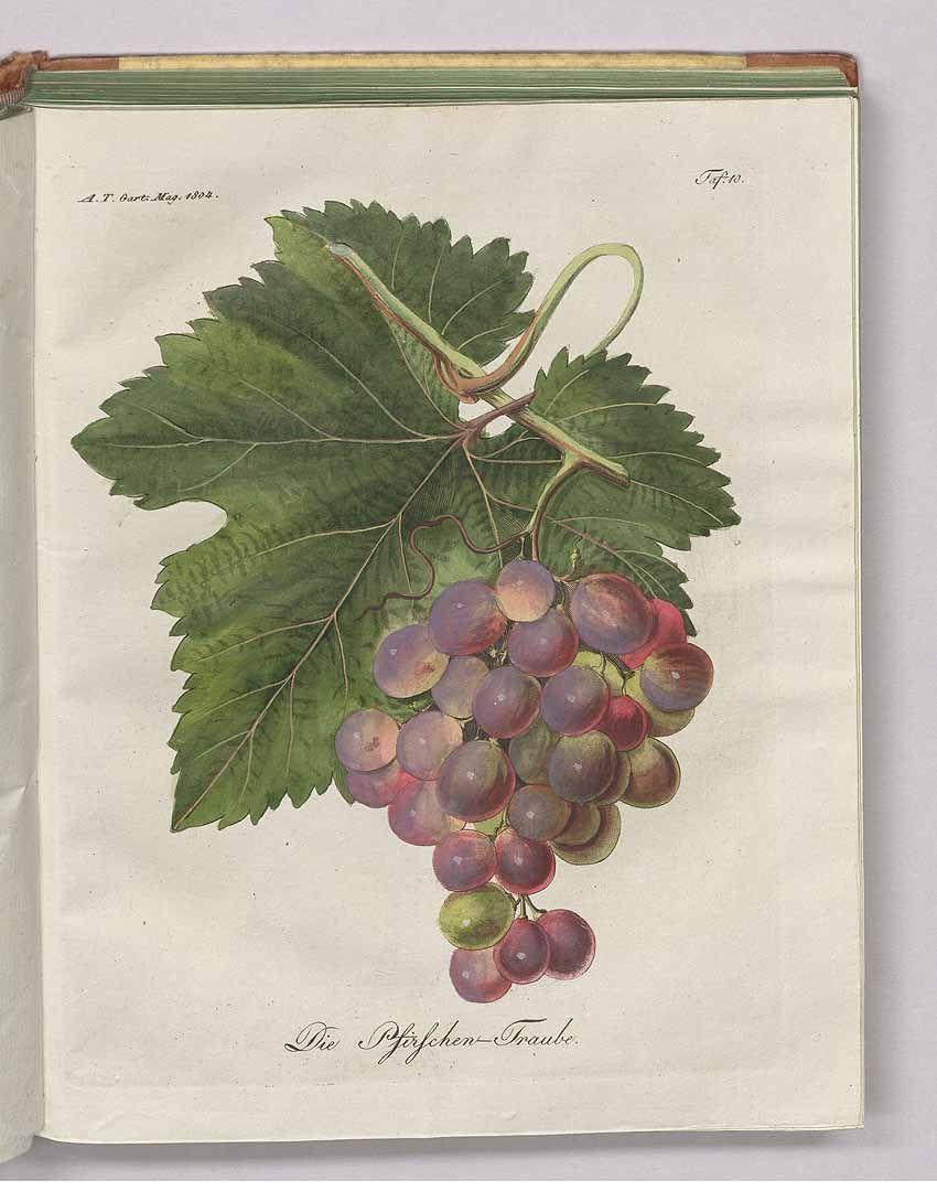 Garten Magazine 240258 vitis vinifera l as die pfirschen traube allgemeines