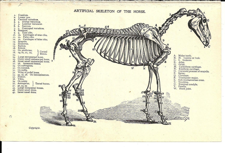 Horse Anatomy Labeled Illustration Of Horse Skeleton
