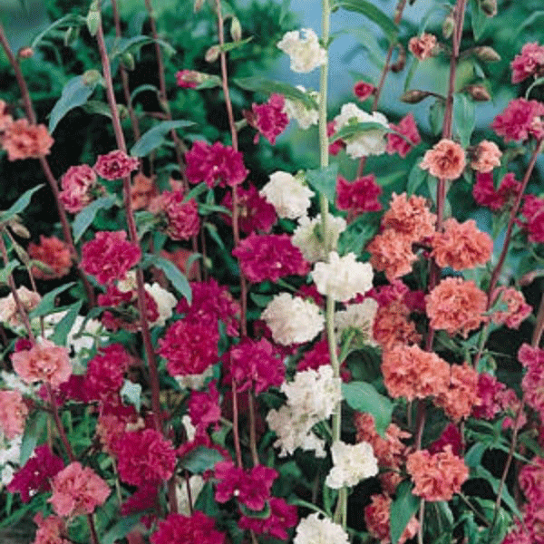Double Mixed Clarkia Annual Flower Seeds The Garden Annual Flowers Flower Seeds Cut Flower Garden