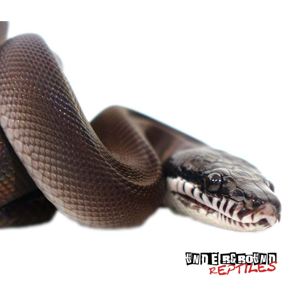 Southern White Lipped Pythons For Sale   Future Pets   Pythons for