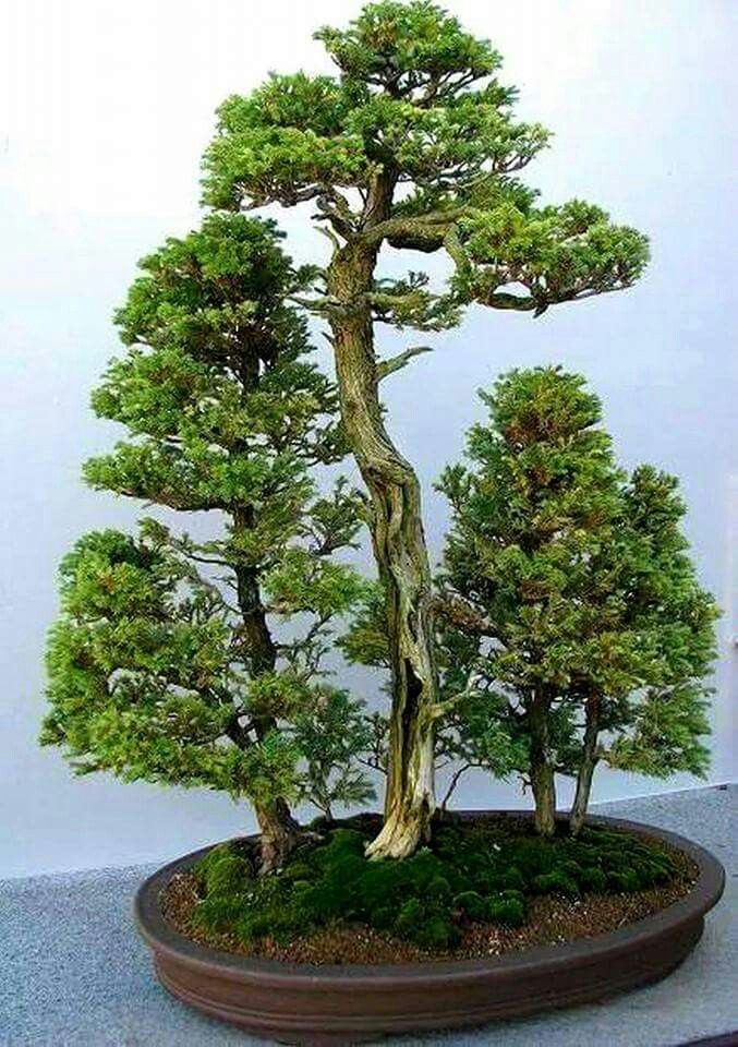 bonsai bonsai pinterest bonsai wald wald und riesen. Black Bedroom Furniture Sets. Home Design Ideas