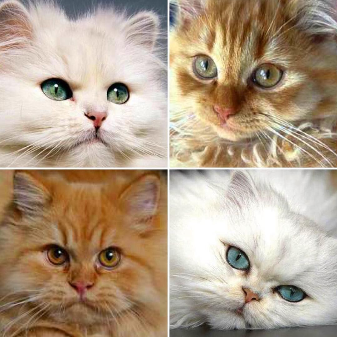 Traditional Persian is one of several names for a group of cats
