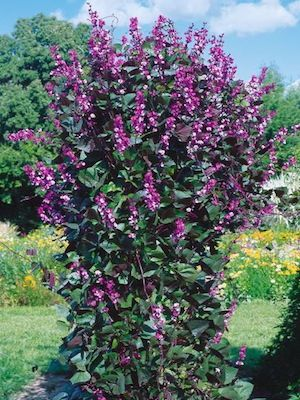 This vine was recommended by one of my customers! Ruby Moon hyacinth vine seeds -  Lilac-rose flowers - magenta pods and wine colored leaves.
