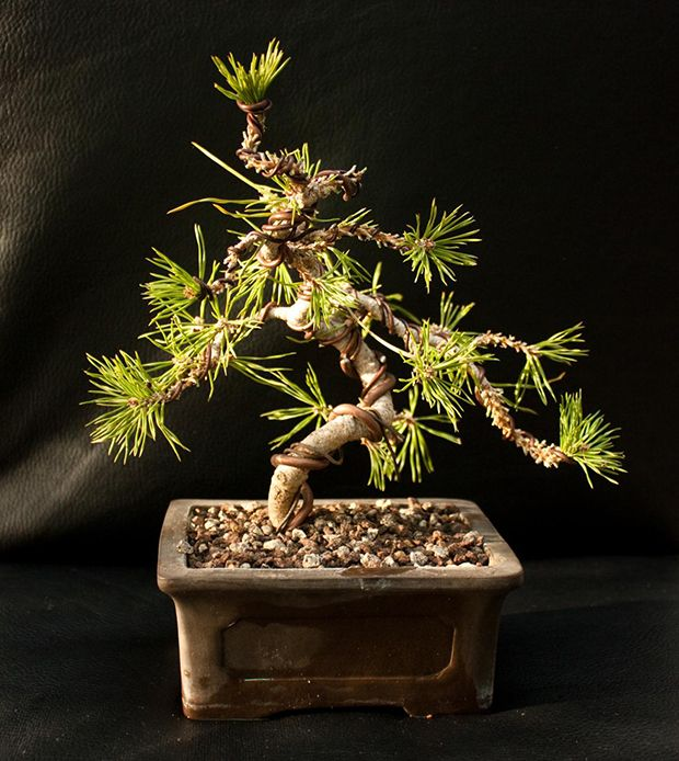 Cultivo del pino como bons i bonsai plants and gardens - Cultivo del bonsai ...
