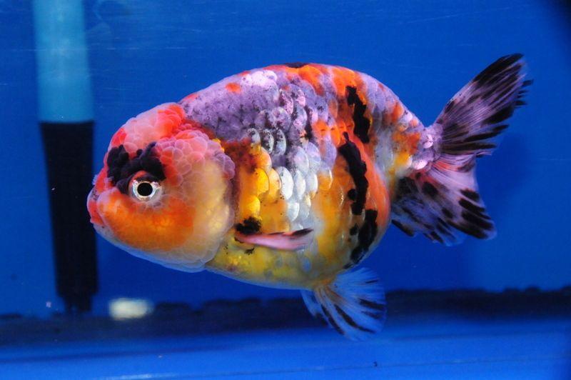 Kirin Ranchu Dandyorandas Com Goldfish Oranda Goldfish Goldfish Pond